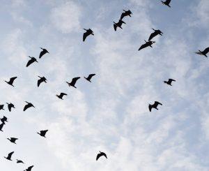 Da Rosegg a Maccarese, il volo dei piccoli ibis