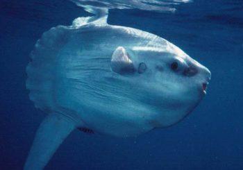 Avvistato pesce luna tra Fiumicino e Ostia